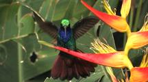 Hummingbird Lazuline Sabrewing Perches On A Yellow Heliconia, Opens Wings And Tail