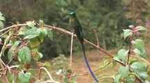 Hummingbird Long-Tailed Sylph Perched, Wide 1