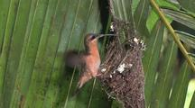 Hummingbird Rufous-Breasted Hermit Nest, Arriving To Sit On