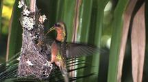 Hummingbird Rufous-Breasted Hermit Nest, Feeding Chicks Wide