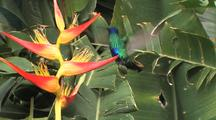 Hummingbird Sparkling Violetear Feeds On A Yellow Heliconia, Ultra Wide