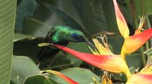 Hummingbird Sparkling Violetear Perched On A Yellow Heliconia, Feeds
