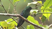 Hummingbird Steely-Vented Hummingbird Perched