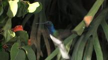 Hummingbird White-Necked Jacobin Feeding On Flowers