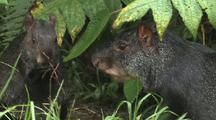 Agouti Eating Seeds
