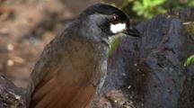 Jocotoco Antpitta Bird With Prey In Mouth