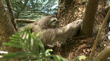 Three-Toed Sloth Climbs Tree