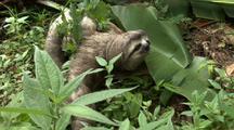 Thre-Toed Sloth