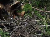 Hoatzin Protecting Chicks
