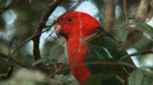 Australian King Parrot Perched Close Up