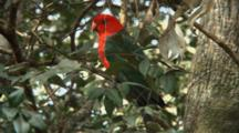 Australian King Parrot Perched Wide