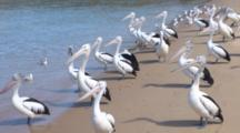 Australian Pelican Flock On A Beach