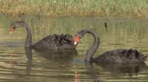 Black Swan Couple Feeding On A Pond