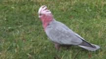 Galah Eating On The Grass Crest