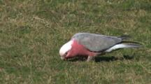 Galah Eating On The Grass Wide