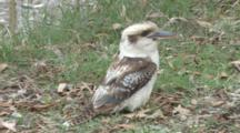 Laughing Kookaburra On The Ground, Missed Prey