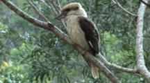 Laughing Kookaburra Perched Wide