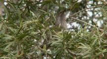 Little Wattlebird Calling In Tree