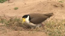 Masked Lapwing Coming To The Nest