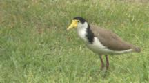 Masked Lapwing Searching For Prey