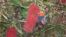 Rainbow Lorikeet Feeding On A Bottlebrush Flower