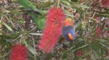 Rainbow Lorikeet Feeding On A Bottlebrush Flower