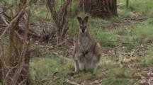Red-Necked Wallaby On The Alert, Flees