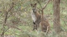 Red-Necked Wallaby With Joey In The Pouch