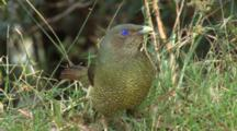 Satin Bowerbird Female