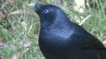 Satin Bowerbird Male Close