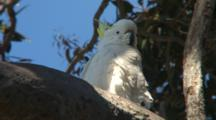Sulphur-Crested Cockatoo Perched