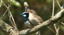 Superb Fairy-Wrens Copulating In Tree