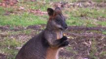 Swamp Wallaby Eating, Close Up