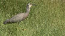 White-Faced Heron Captures A Grasshopper