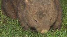 Wombat Grazing At Night Front Shot Zoom