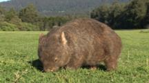 Wombat Grazing Late Afternoon, Hand Shot Ground Level