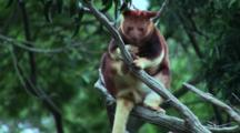 Goodfellow's Tree Kangaroo (Timboyok) Resting 1