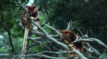 Goodfellow's Tree Kangaroo (Timboyok) Resting 2
