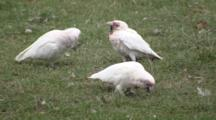 Long-Billed Corella Feeding On Grass Roots