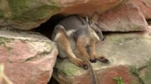 Yellow-Foot Rock-Wallaby Resting Under A Ledge