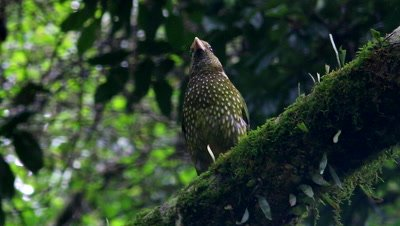 Green Catbird on branch
