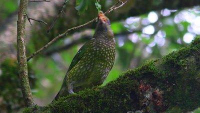 Green Catbird on branch,ficus fruit