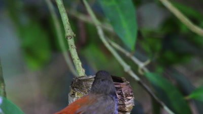 Rufous Fantail on nest,arriving