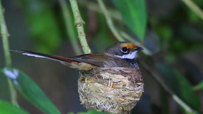Rufous Fantail on nest