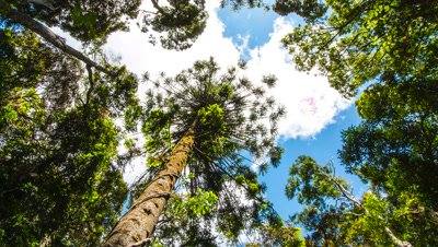 Bunya Pine in Forest Time Lapse