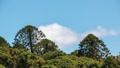 Bunya Pines and clouds Time Lapse