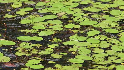 Platypus Feeding on pool