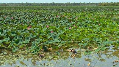 Mamukala Billabong 1 wide,birds,Kakadu,Top End