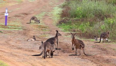 Eastern Grey Kangaroo at a side of the road