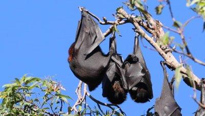 Black Flying Fox hanging trio